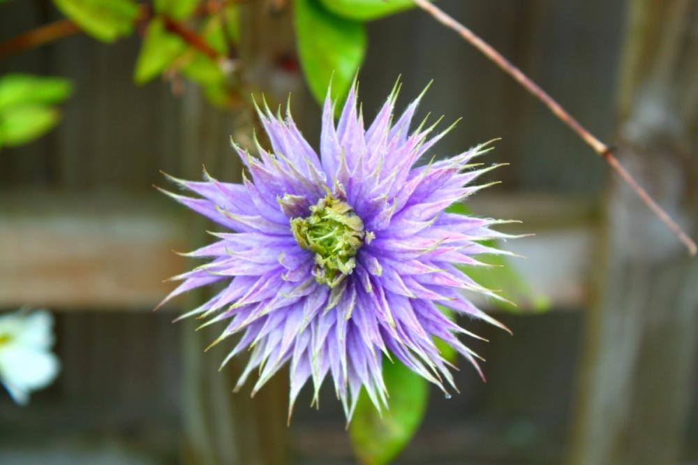 English-summer-garden-flowers-purple-Derbyshire