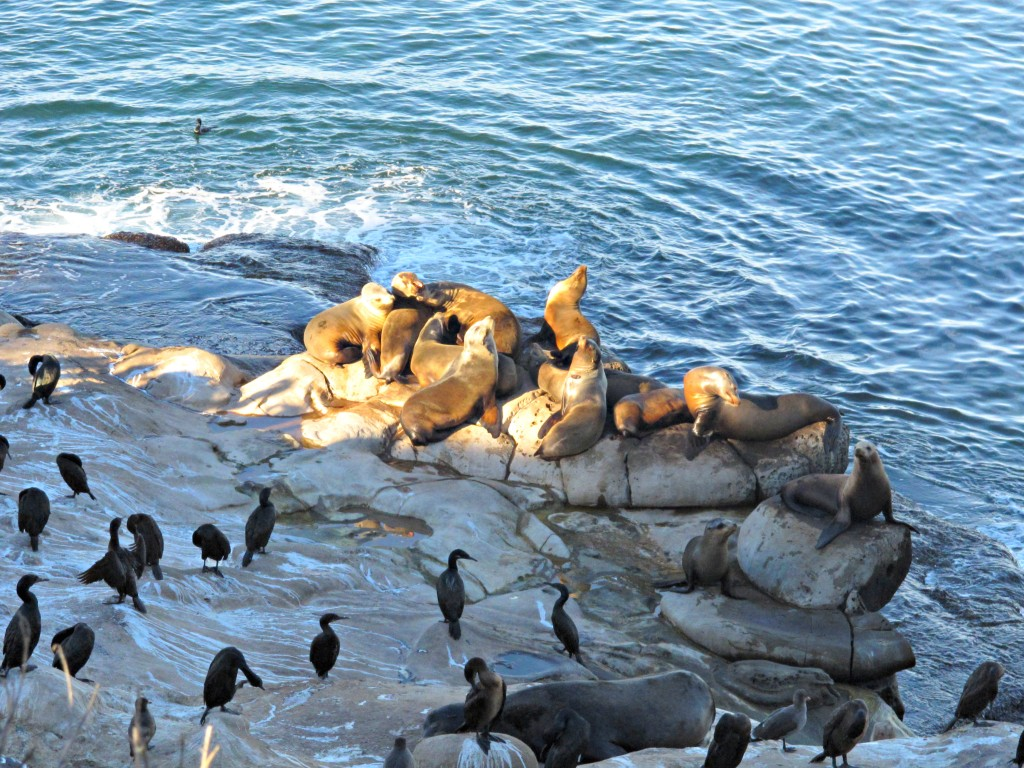 california-sea-lions-la-jolla