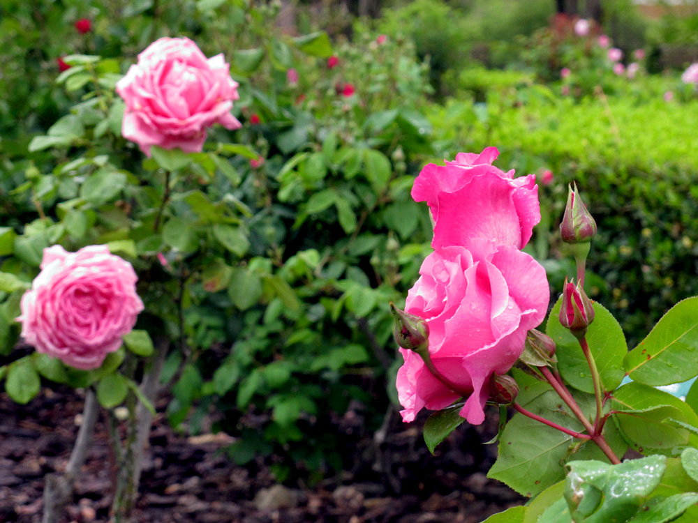 parc-de-cervantes-rose-garden-barcelona