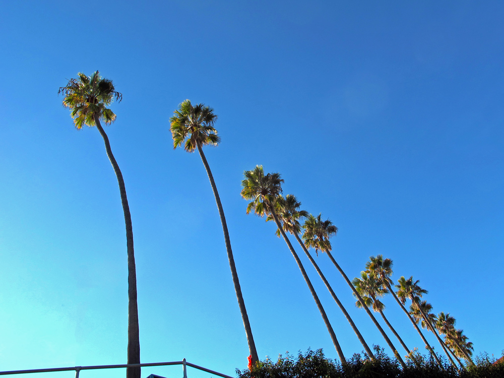 la-jolla-california-palm-trees