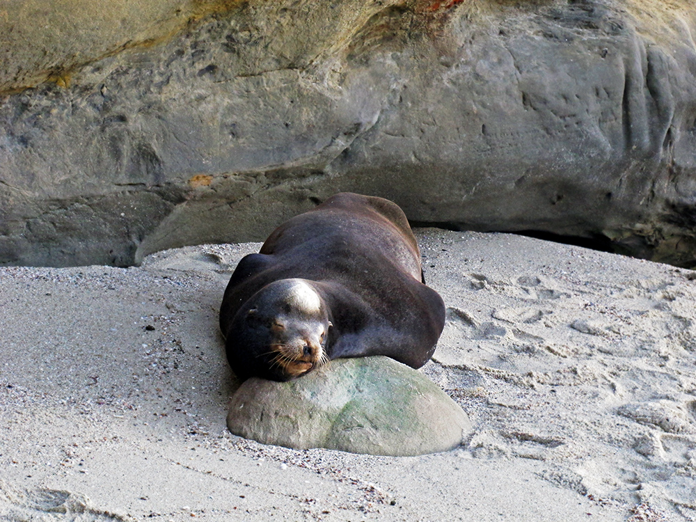 la-jolla-sea-lion