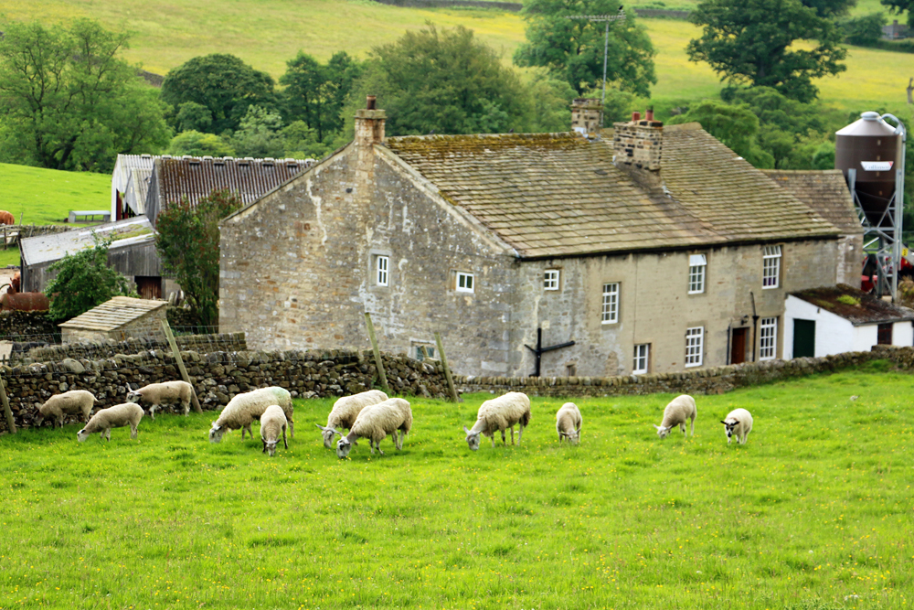 yorkshire-dales-sheep-appletreewick