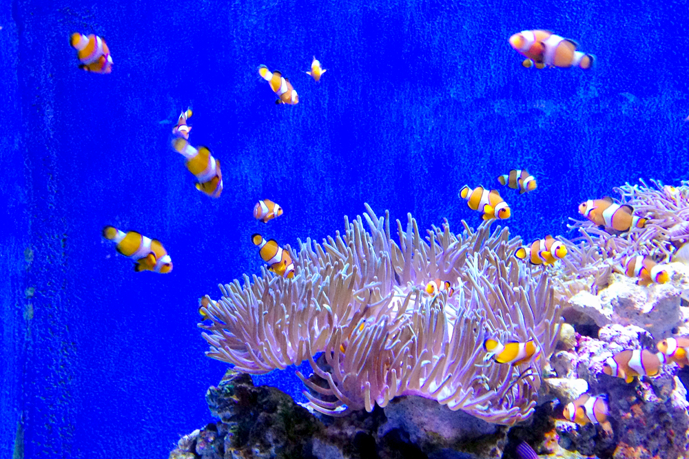 barcelona-aquarium-clownfish